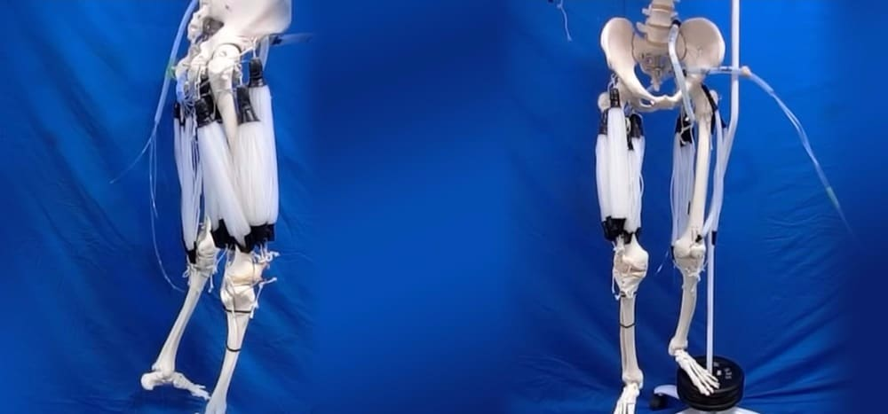 Pneumatic artificial muscles for orthosis