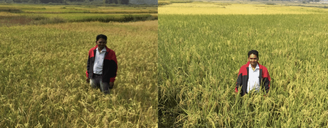 Sudhir Paswan standing in fields side by side in the village of Chitto, Jharkhand. On the left: traditional subsistence farming. On the right: an 'SRI' field – no fertiliser, no irrigation, no pesticides. 'Green revolution' yields are available to small farmers without the need for expensive inputs and scale of industrial farming.