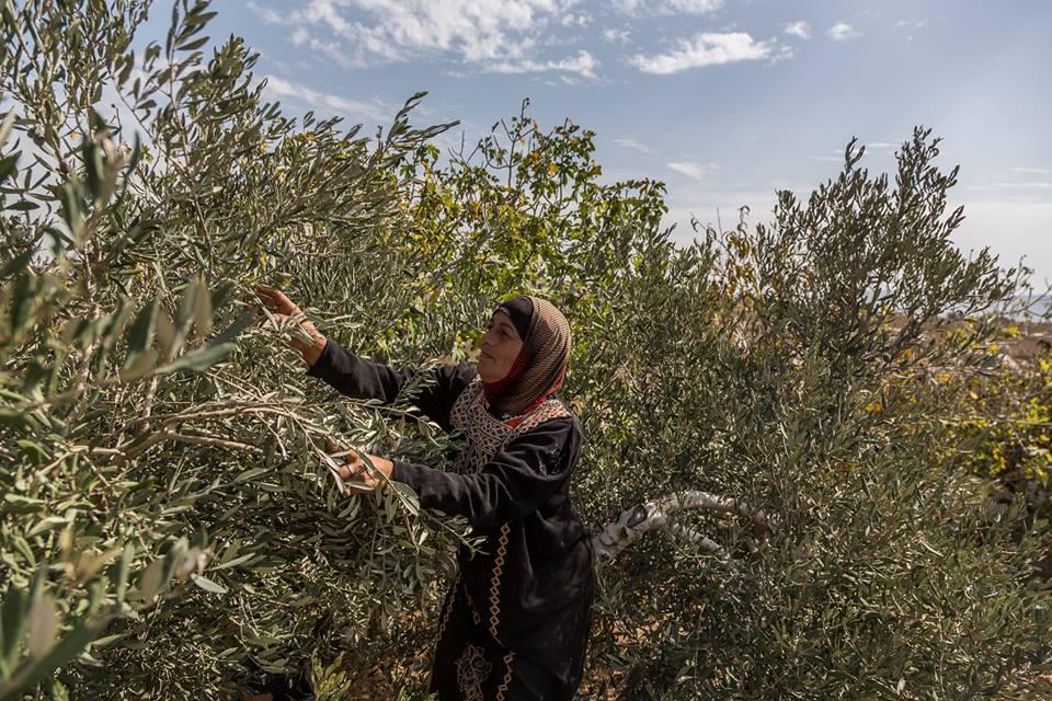 Palestinian woman picks olives as part of the Zaytoun initiative