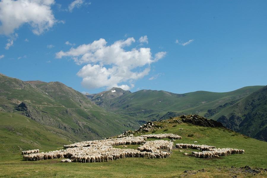 Xisqueta sheep herding in the Pyrenees