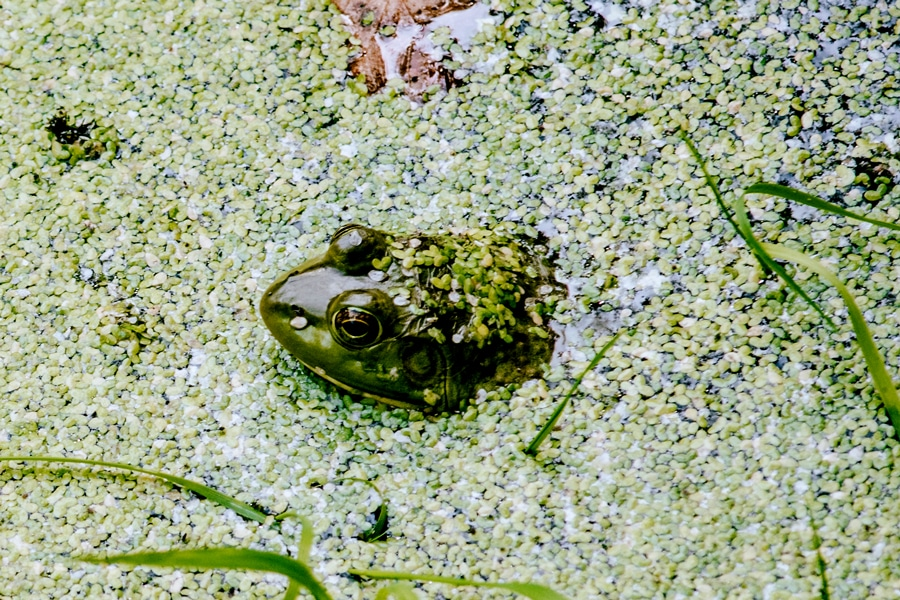 duckweed (lemna) can grow very quickly